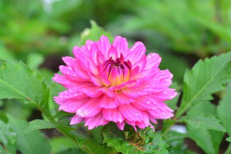 Closeup of Beautiful dahlia flower in full bloom in the garden.