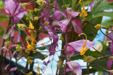 mauve: Yellow globba flowers blooming in the garden are shaped like a swan Stock Photo