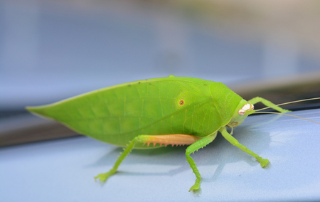titans: Pseudophyllus titans or giant leaf katydid (giant leaf bug) ** note select focus with shallow depth of field