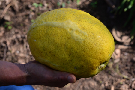 photo of very fresh strange fruits name Yemenite citron such as Buddhas hand, can be found in India and China