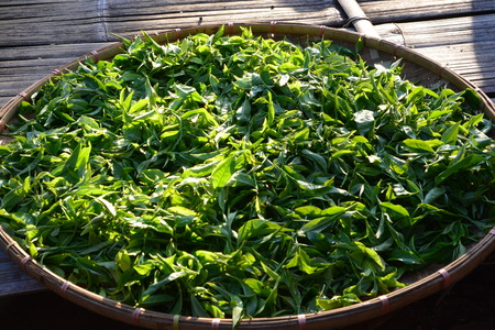 Asia culture concept image - view of fresh organic tea bud & leaves on bamboo basket in Thailand, the process of tea making