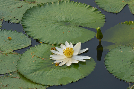 Beautiful white Tropical water lily  or lotus flower in pond
