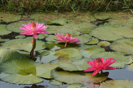 Beautiful pink Tropical water lily  or lotus flower in pond Stock Photo