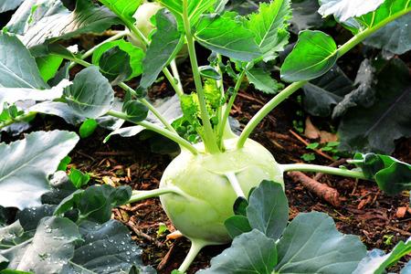 kohl: Kohlrabi, Turnip Rooted Cabbage