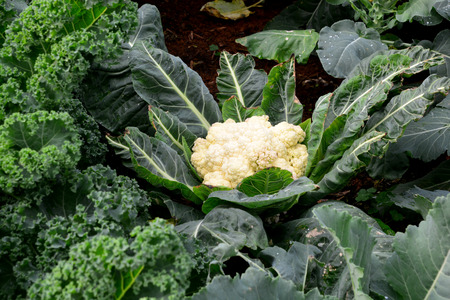 The cauliflower head is composed of a white inflorescence meristem. Cauliflower heads resemble those in broccoli