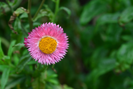 commercially: straw flower or everlasting or paper daisy flower and copy space for add text
