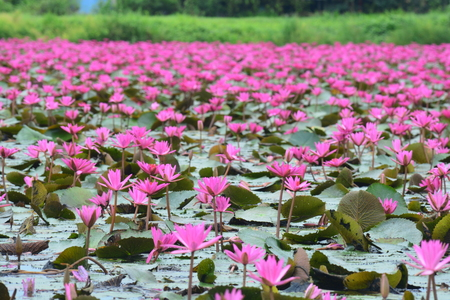 appropriately: This spectacular site is home to millions of lotus flowers and appropriately named the Red Lotus Sea or Talay Bua Daeng