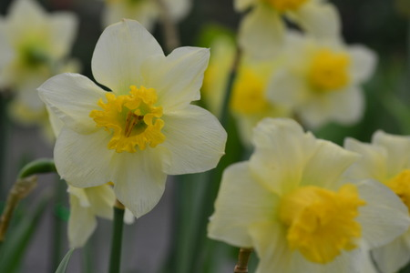 unmatched: Daffodils, the flowers symbolizing friendship, are some of the most popular flowers exclusively due to their unmatched beauty.