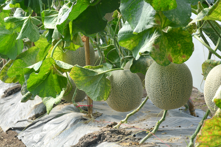 Cantaloupe. Fresh melon on tree. ** note select focus with shallow depth of field