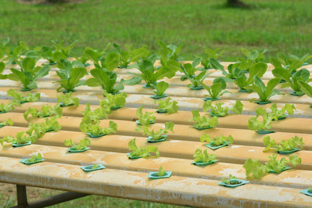 hydroponic plants in vegetable garden farm, greenhouse of hydroponic, plants growing in the water without soil. ** note select focus with shallow depth of field Stock Photo