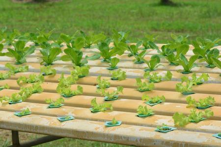 Plantas hidropónicas en huerta granja, invernadero de cultivo hidropónico, plantas que crecen en el agua sin suelo. ** nota seleccionar foco con poca profundidad de campo Foto de archivo - 92600301