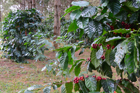 cafe colombiano: Coffee bean, coffee cherries or coffee berries on Arabica coffee tree