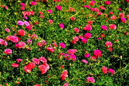 Portulaca  is the type genus of the flowering plant family Portulacaceae, comprising about 40-100 species found in the tropics and warm temperate regions. They are also known as purslanes