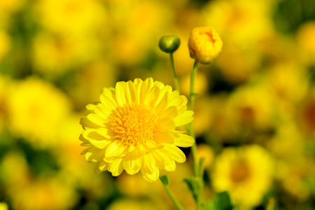Chrysanthemum indicum Linn flowers. Or Chrysanthemum morifolium Ramat flowers in plantation Stock fotó - 108763054