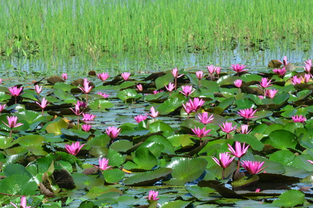 This spectacular site is home to millions of lotus flowers and appropriately named the Red Lotus Sea or Talay Bua Daeng