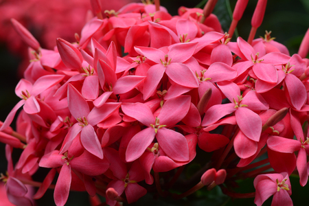 Ixora flower blossom in a garden. Red spike flower. King Ixora blooming (Ixora chinensis).
