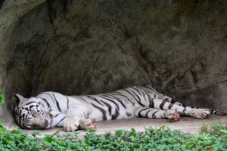 White tiger or White tiger sleeping Stock Photo