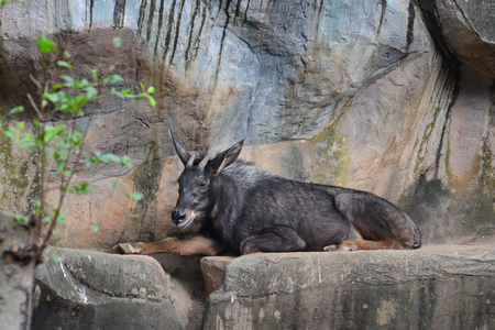 Chinese Serow (Capricornis milneedwardsii) on Cliff