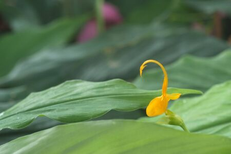 Yellow globba flowers blooming in the garden are shaped like a swan 스톡 콘텐츠