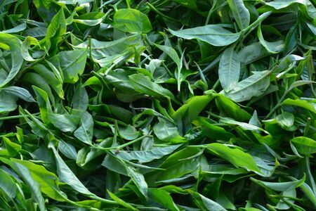 Tea production starts with plucking. Plucking requires a defined bud leaf configuration called a plucking standard. The first step in making a quality tea requires adherence to the plucking standard.