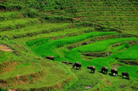 Green Terraced Rice Field in Mae Long House , Mae Chaem, Chiang Mai, Thailand.