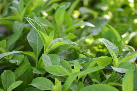 Longevity Spinach, also known as Gynura Procumbens, is a vegetable that has recently become exceedingly popular in the U.S. This plant that was originally found in China, Southeast Asia