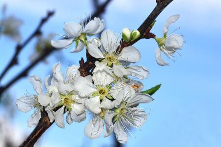 Blooming White Chinese plum flower or Japanese apricot, Korean green plum, East Asia, is usually called plum blossom