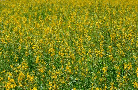 Farm Sunn Hemp flowers, Indian hemp flower field, Madras hemp or Crotalaria juncea is a tropical Asian plant used for green manure forage, organic soil building and cover crop applications Stock Photo
