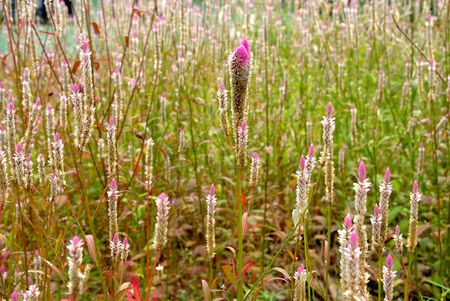 Soft focus of Liatris spicata, dense blazing star, prairie gay feather, note select focus center of picture with shallow depth of field