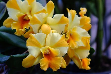 Blooming White Yellow Cattleya hybrids orchid