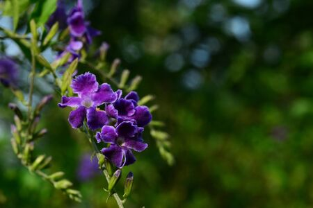 Duranta, Golden Dewdrop, Crepping Sky Flower, Pigeon Berry or Duranta erecta, Purple flower with green leaves background