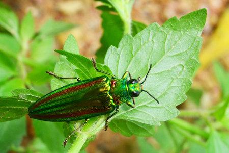 Jewel beetle, Metallic wood-boring beetle, Buprestid
