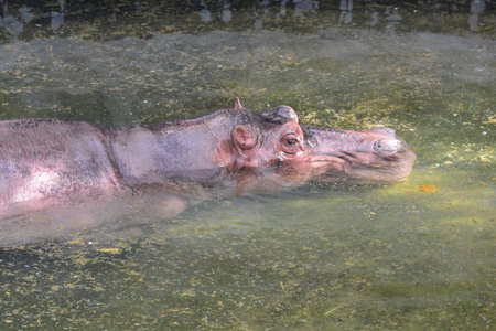 Hippopotamus (Hippopotamus amphibius)  in water