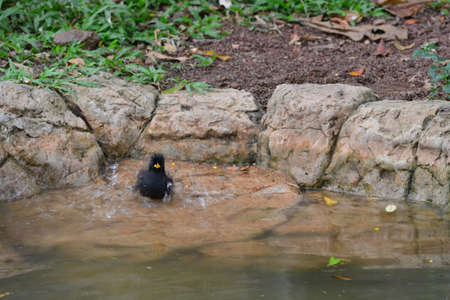 jungle crow playing in the water, note  select focus with shallow depth of field Stock fotó