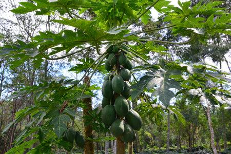 papaya fruit on the tree in Papaya plantations