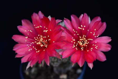Blooming red flower of Lobivia cactus on black background