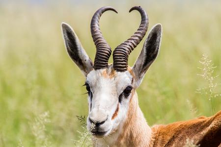 springbok: Springbok lying in grass Stock Photo