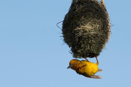 巣からぶら下がっている岬の織工