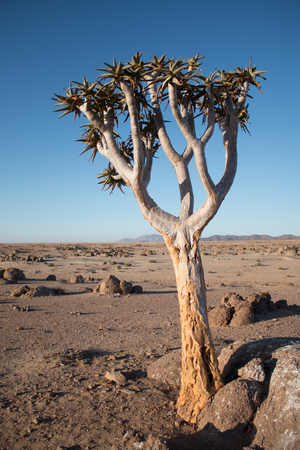 Lonely Quiver Tree in the desert Stock Photo