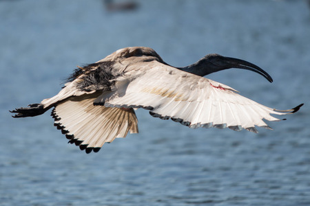 Sacred Ibis with open wings and feathers
