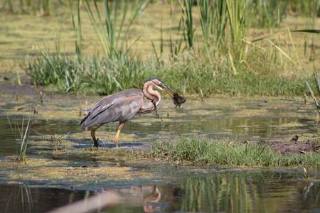Purple Heron with a fish in its beak Stock Photo