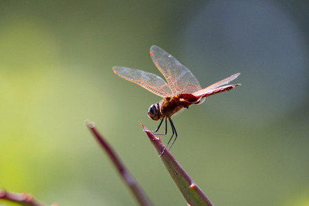 Close up of Red Dragonfly sitting on a leaf