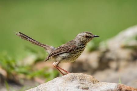 Karoo Prinia brown bird with long tail sitting on a rock
