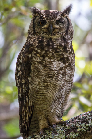 Portrait of a big Cape Owl sitting in a tree