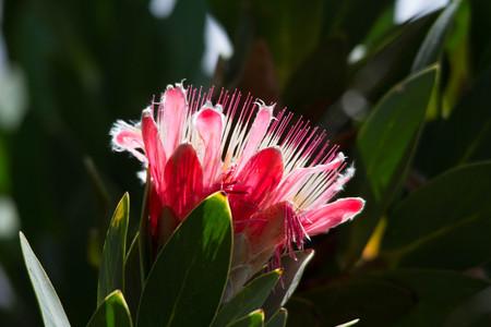 Pink Protea flower in bloom