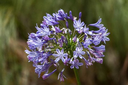 Close up of purple Agapanthus Flower
