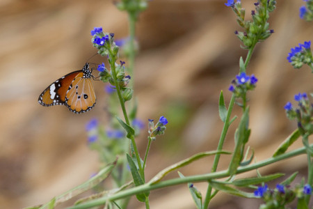 Orange Plain Tiger Butterfly sitting on purple flower