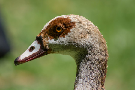 Close up of Egyptian Goose Stock Photo