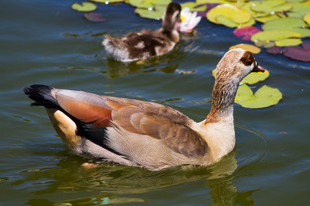 Egyptian Goose swimming in pond with baby duckling