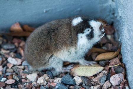Close up of a Cape Mole Rat